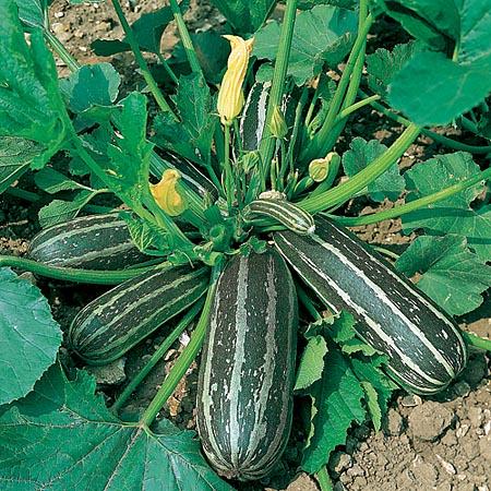 Marrow Green Bush 3 - Smallpak
